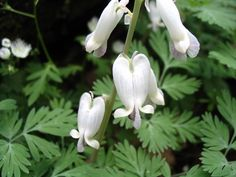Dicentra canadensis - Yahoo Search Results