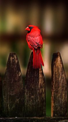 Cardinal on the fence.