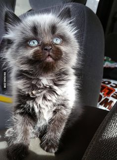 Beautiful kitten with blue eyes. I want!!