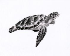 Artist's name: PunkyMeadows Artwork's title: Sea Turtle 1 Medium: 9B to 4H pencils, blending stumps Size: A3 paper  Year: 2010