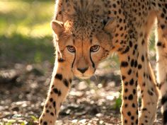 Stalking cheetah by Tracy Milstead