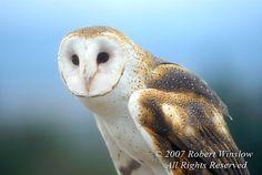 Owls - rwinslow