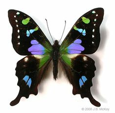 I like this purple spotted swallowtail, Graphium weiskei. This incredible butterfly (purple is an unusual colour in butterflies) occurs in Papua New Guinea. Butterfly Kisses, Butterfly Flowers, Butterfly Wings, Purple Butterfly, Types Of Butterflies, Flying Flowers, Photos Of Butterflies, Butterfly Photos, Beautiful Bugs