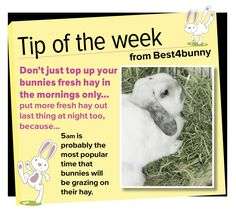 Bunny tip week 2 - Don't just top up their fresh hay in the mornings. Rabbit Cages, House Rabbit, Bunny Rabbit, Rabbit Farm, Baby Bunnies, Cute Bunny, Bunny Care Tips, Netherland Dwarf Bunny, Dwarf Rabbit