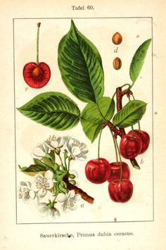 Germany's flora in illustrations - Vintage cherry drawing - Vintage Botanical Prints, Botanical Drawings, Botanical Art, Vintage Art, Vintage Botanical Illustration, Vintage Drawing, Illustration Botanique, Creation Art, Arte Sketchbook
