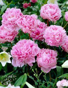Paeonia lactiflora 'Sarah Bernhardt'. Kiinanpioni