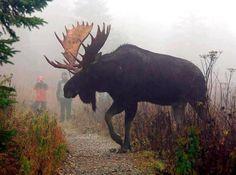Biggest Moose I've Ever Seen | HuntDrop . Every moose hunter's dream...!!!