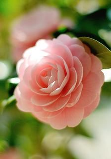 Camellia Japonica - February Evergreen shrubs with beautiful solitary or clustered flowers appearing early in the year with glossy, leathery leaves Amazing Flowers, My Flower, Pink Flowers, Beautiful Flowers, Cactus Flower, Exotic Flowers, Yellow Roses, Deco Floral, Colorful Roses