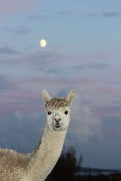 Moomin in the moonlight (Skate Rumple Orkney Alpacas on Facebook)