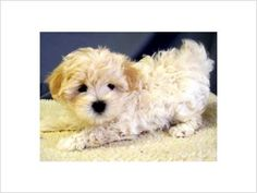 Maltipoo puppies for sale, Maltipoo puppies and Puppies