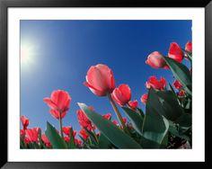 Parkinson's Awareness - Red Tulip