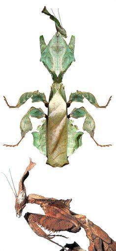 Phyllocrania paradoxa, female, male