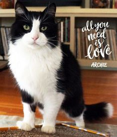 We are incredibly saddened that handsome, charismatic Archie has left this world. Archie's personality was bigger than life. So big in fact that after just one week his foster mom Jane decided he was the perfect cat & she adopted him. Sadly that was only 11 months ago. Without any warning, Archie stopped eating and was found to have fluid in his lungs. Despite heroic vet efforts, Archie passed OTRB. Our deepest sympathies to his mom Jane. #OTRB #catsofMCA MaineCoonAdoptions.com Oakland, CA