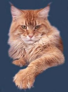 Visit Top Coon #Maine_Coons website www.absolutelycats.com/23MaineCoon4.html #cats #kittens #Poland