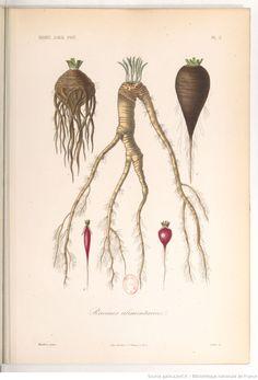 """""""Racines alimentaires"""", Le règne végétal, MM. A. Dupuis,... Fr. Gérard,... O. Réveil... [et al.]   1864-1869"""