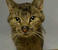 Brooklyn Center LEO – A1100824 NEUTERED MALE, GRAY TABBY, DOMESTIC SH MIX,5 yrs OWNER SUR – EVALUATE, NO HOLD Reason PET HEALTH Intake condition ILLNESS Intake Date 01/02/2017, From NY 11101, DueOut Date 01/02/2017, Medical Behavior Evaluation GREEN