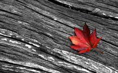 schwarz weiß fotografie rotes ahornblatt
