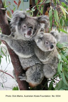 30 April 2012 is the day Australia's Environment Minister announces whether koalas will be listed as Endangered and thus given the protection from development they desperately need.  This photo is from the Australian Koala Foundation website.