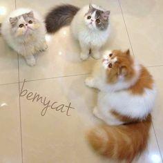 Persian kitties instagram bemycat http://instagram.com/p/zXWVJ2Rbfr/