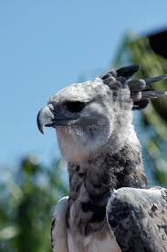 Image result for harpy eagle