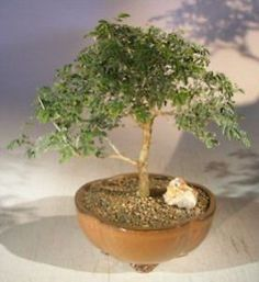 Item specifics     Brand:   Bonsai Boy    UPC:   Does not apply       BONB-E3323-Bonsai Boys Flowering Mimosa Bahamensis Bonsai Tree Mimosa bahamensi  Price : 77.62  Ends on : 1 week