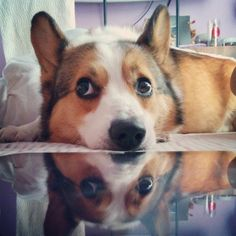 """""""Did you ever wonder if the person in the puddle is real, and you're just a reflection of him?"""" ― Bill Watterson   Cute Pembroke Welsh Corgi via Flickr - Photo Sharing! ©RovIcT Lee"""