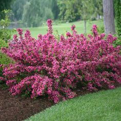 Sonic Bloom® Weigela Shrubs for Sale | FastGrowingTrees.com Garden Shrubs, Flowering Shrubs, Landscaping Plants, Trees And Shrubs, Garden Plants, Landscaping Ideas, Flowering Bushes Full Sun, Yellow Flowering Shrub, House Plants