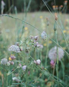 A beautiful summer meadow Wild Flowers, Dandelion, Plants, Summer, Beautiful, Plant, Taraxacum Officinale, Dandelions, Wildflowers
