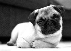 Sassy pug face