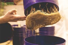 Did you know that cannabis roots also have health properties?  No part of the cannabis plant is useless. While the buds and leaves usually take center stage, it turns out there are more to the roots than what many of us assumed.  In fact, people have been incorporating cannabis roots into medicine for thousands of years.  Check out these 10 things you probably never knew about cannabis roots!