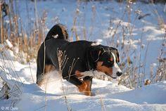 APPENZENER CATTLE DOG