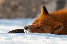 """Signez pour sortir le renard des espèces """"nuisibles""""  https://secure.avaaz.org/fr/petition/Sortir_le_renard_roux_de_la_liste_NUISIBLES/?fbss et activisme  http://blogs.mediapart.fr/edition/droits-des-animaux/article/240114/actions-contre-le-massacre-organise-de-renards-dans-le-nord"""