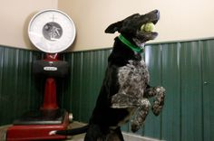Detecting detection dogs no easy job #pets #dogs #cats #animals #dog #cute #pet #cat #Adopt #puppy #love