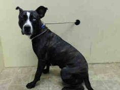 TO BE DESTROYED - 8/22/14 Brooklyn Center   My name is NINA. My Animal ID # is A1011024. I am a female black and white pit bull mix. The shelter thinks I am about 1 YEAR   I came in the shelter as a OWNER SUR on 08/18/2014 from NY 11208, owner surrender reason stated was NO TIME.  https://www.facebook.com/Urgentdeathrowdogs/photos/a.611290788883804.1073741851.152876678058553/857057404307140/?type=3&theater