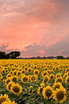 Morning Sunshine ... over field of Sunflowers