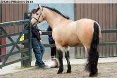 Buckskin Connemara stallion Kippure Kingsmill