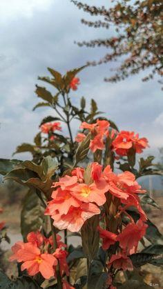Firecracker Flower 4K Ultra HD Mobile Wallpaper. Exotic Plants, Exotic Flowers, Beautiful Flowers, Ultra Hd 4k Wallpaper, Mobile Wallpaper, Tropical Birds, Firecracker, Flower Wallpaper, Floral Arrangements