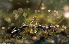 These ants seem to be having a drink together from a droplet of water, showing how truly small the ants are, and how high definition the ima...