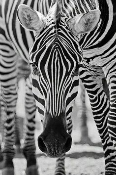 Black and White Photography - Zebra