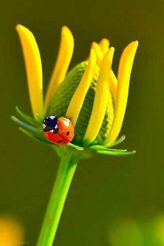 Ladybug with yellow flower