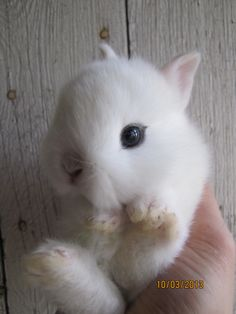 A 18 day old Dwarf Hotot bunny.  So cute! <3