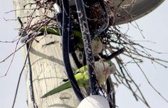 Wild Quaker Parrots of Edgewater, New Jersey, Under Attack Again:
