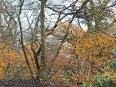 (More) Bewitched by Hamamelis at Kew...