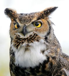 So handsome <3 GREAT HORNED OWL