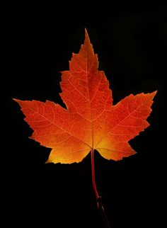 Maple Leaf Photo by James Cumming -- National Geographic Fall Leaves Tattoo, Autumn Leaves, Red Leaves, Maple Leaves, Maple Leaf Images, Fall Clip Art, Nature Sketch, Leaf Drawing, Fall Pictures