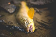 Todays solo backcountry mission was a success. Anyone else get out for some troutin today? . . . . . . . . . . #flyfishing #redington #redingtongear #findyourwater #browntrout #keepitpublic #keepemwet #ourwild #publiclandowner #neverstopexploring #rei1440project #wildernessculture #natgeoadventure #troutbum #wyoming #flylords #flyfishingnation #flyfishingjunkie #dryfly #wyomingexplored #trout #ynotoutdoors #nikond500 #nikon35mm