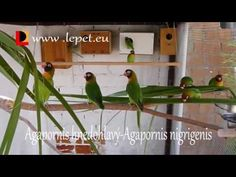 Agapornis hnedohlavý-Agapornis nigrigenis-Black-cheeked lovebird - YouTube