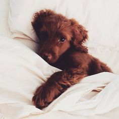 How adorable is this Irish Setter Puppy?