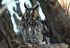 https://flic.kr/p/QNV9bu   Long eared owl   Ch St Francois, Technoparc