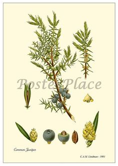 Carte d'art  reproduction botanique antique de par PosterPlace